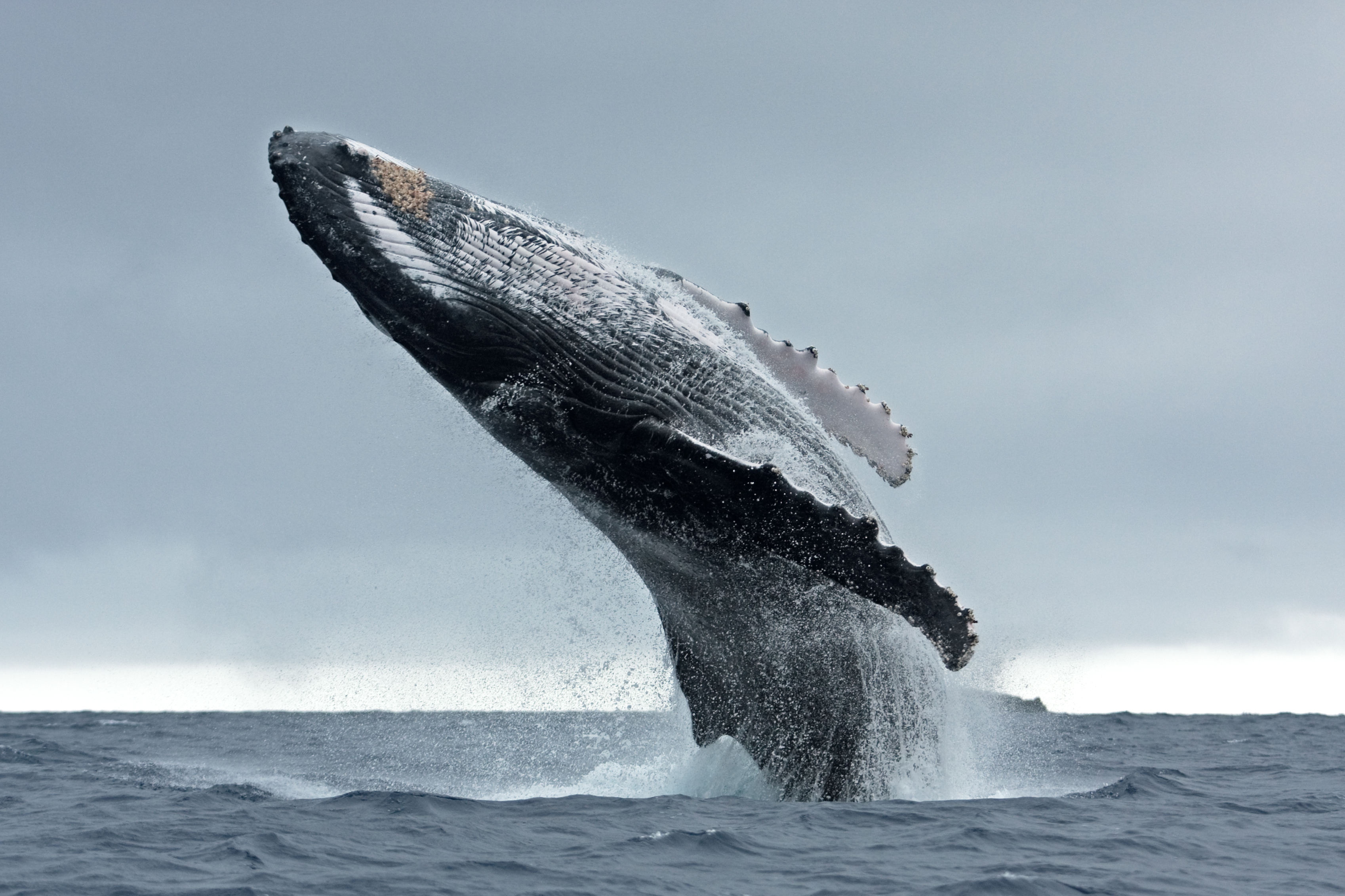 Brazil re-establishes conservation measures to protect whales from commercial hunting